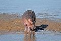 Flickr - ggallice - Hippo.jpg