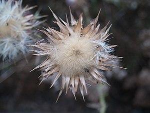 Flora del Río Congost 05.jpg