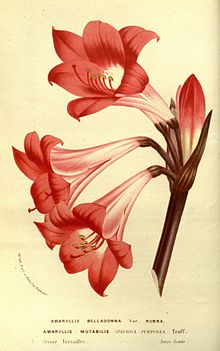 Amaryllis belladonna illustration from flore des serres for Signification amaryllis