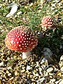 Fly Agaric, Pipers Wait - geograph.org.uk - 1582787.jpg