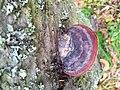 Fomitopsis pinicola 96018417.jpg