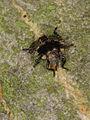 Forest bug nymph (early instar ?) (7320636294).jpg