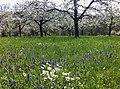 Frühling im Gewann Mäurach - panoramio.jpg