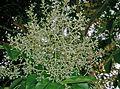 Fraxinus griffithii4.jpg