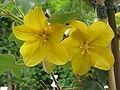 Fremontodendron californicum02.jpg