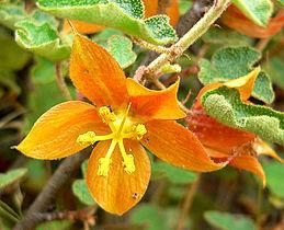 Fremontodendron californicum ssp decumbens 2.jpg
