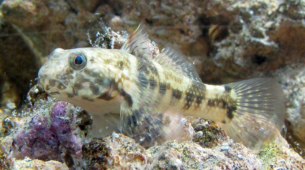 Cool goby blog my new florida gobies for Freshwater goby fish