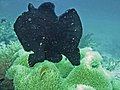 Frogfish hopping (10020684903).jpg