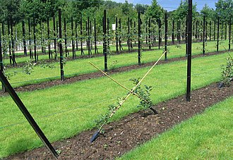 Fruit tree forms - A test site with several fruit tree forms located at Gaasbeek Castle