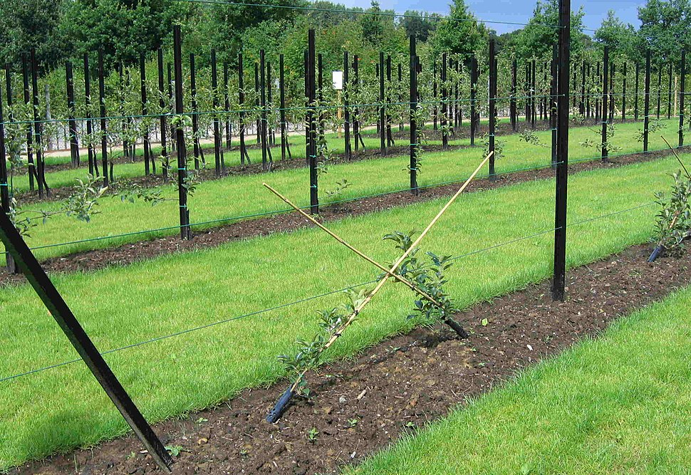 Fruit tree forms at Gaasbeek