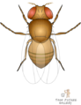 Fruitfly (Drosophila melanogaster).png