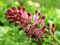 Fumaria de la familia Papaveraceae (8619513779).jpg