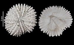 Fungiacyathus fissidiscus (MNHN-IK-2009-1685) 002.jpeg