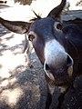 Funny donkey - Flickr - gidibao.jpg