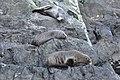 Fur seals at Milford Sound - panoramio.jpg