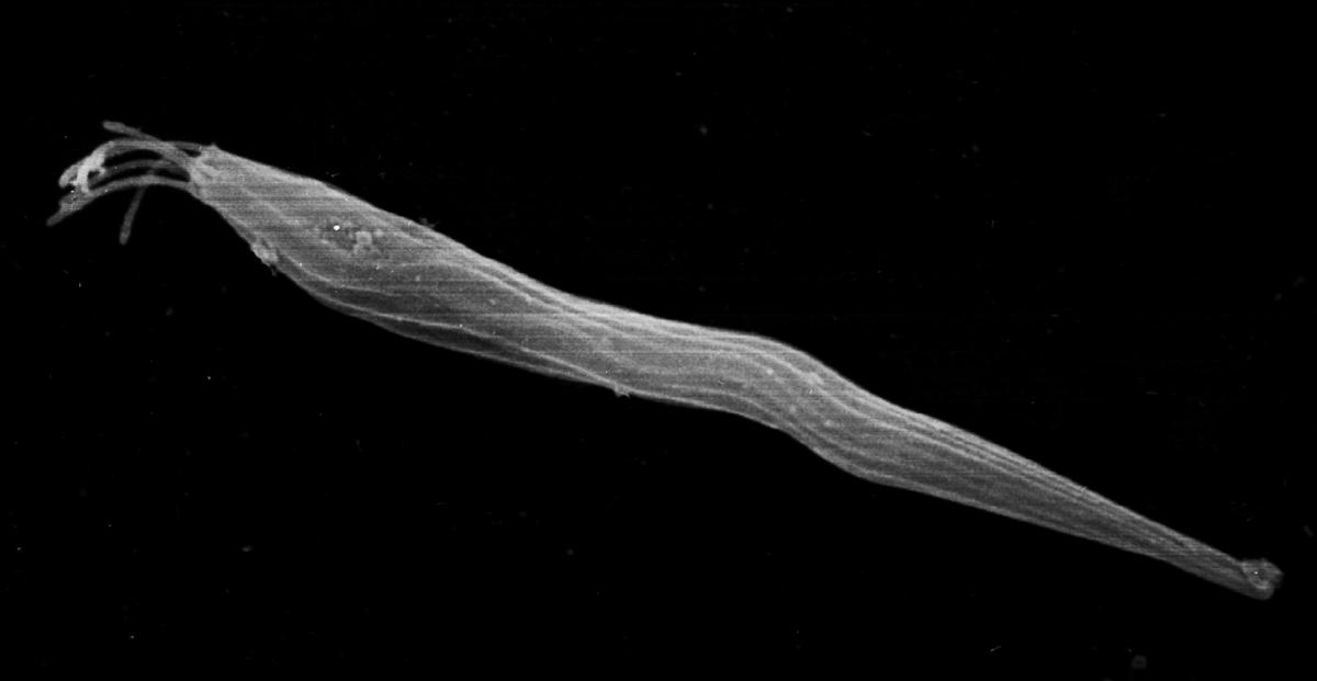 Sperm Heteromorphism