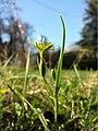 Gagea pratensis subsp. transversalis sl2.jpg