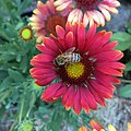 Gaillardia 'Arizona Red Shades' IMG 4392.jpg