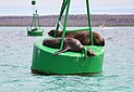 Galápagos sea lions 02.jpg