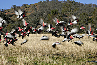 Cross-fostering - The ranges of these galahs overlap with a related species, leading to natural cross fostering.