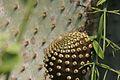 Galapagos Cactus Budding.jpg
