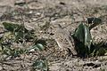 Galerida cristata - Crested Lark, Mersin 2017-01-22 01-2.jpg
