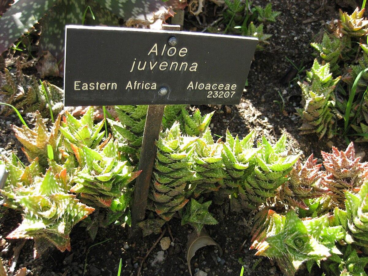 Aloe Juvenna Wikipedia