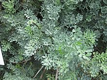 Ruta graveolens - Wikipedia