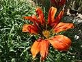 Gazania krebsiana (Compositae) flower.jpg