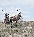 Gemsboks (Oryx gazella) (50550229217).jpg