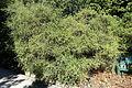 Genista canariensis (Teline canariensis) - Jardín Botánico de Barcelona - Barcelona, Spain - DSC09165.JPG