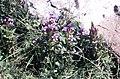 Gentianella germanica (Willd.) Boerner (7561436342).jpg