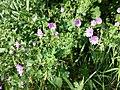 Geranium pyrenaicum sl15.jpg