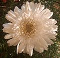 Gerbera flower white.JPG