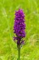 Gevlekte orchis (Dactylorhiza maculata). Locatie. Nationaal Park Lauwersmeer 02.jpg