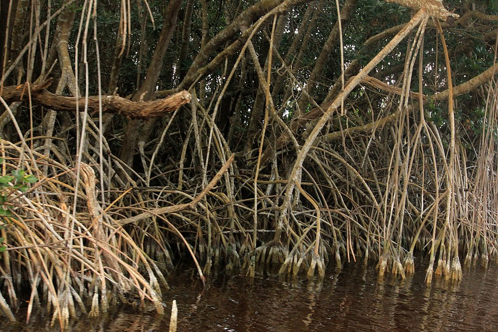 Gfp-mangrove-roots