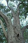 Giant Olinia Ventosa tree - Newlands Forest - Cape Town.jpg