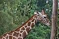 Giraffe (28618308071).jpg