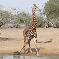 Giraffe (Giraffa camelopardalis) at waterhole ... (32163779975).jpg
