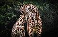 Giraffe Love.jpg