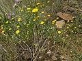 Glebionis segetum plant (11).jpg
