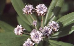 Globularia salicina flowers in the second week of October 1999 in Madeira..jpg