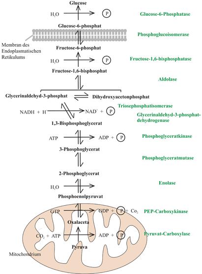 gluconeogenesis anabolic or catabolic