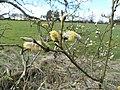 Goat Willow - Salix caprea at Lugton.JPG