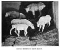 Goats BSNH Bulletin1906.png