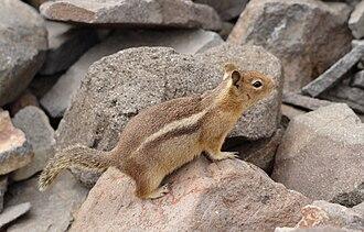 Cascade golden-mantled ground squirrel - A Cascade golden-mantled ground squirrel on Mount Rainier.