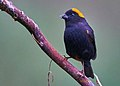 Golden-naped Finch Lava WestBengal India.jpg