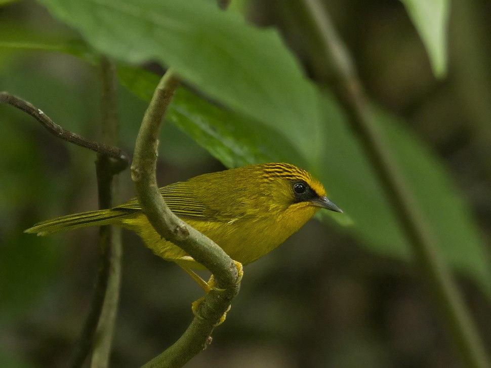 Golden Babbler 9414 GarimaBhatia