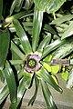 Golden Pothos (Epipremnum aureum) Neon (3073333594) (2).jpg
