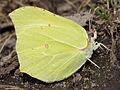 Gonepteryx rhamni, female (9730454842).jpg
